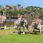 Phillip Island: Ein Besuch bei Kängurus und Koalas