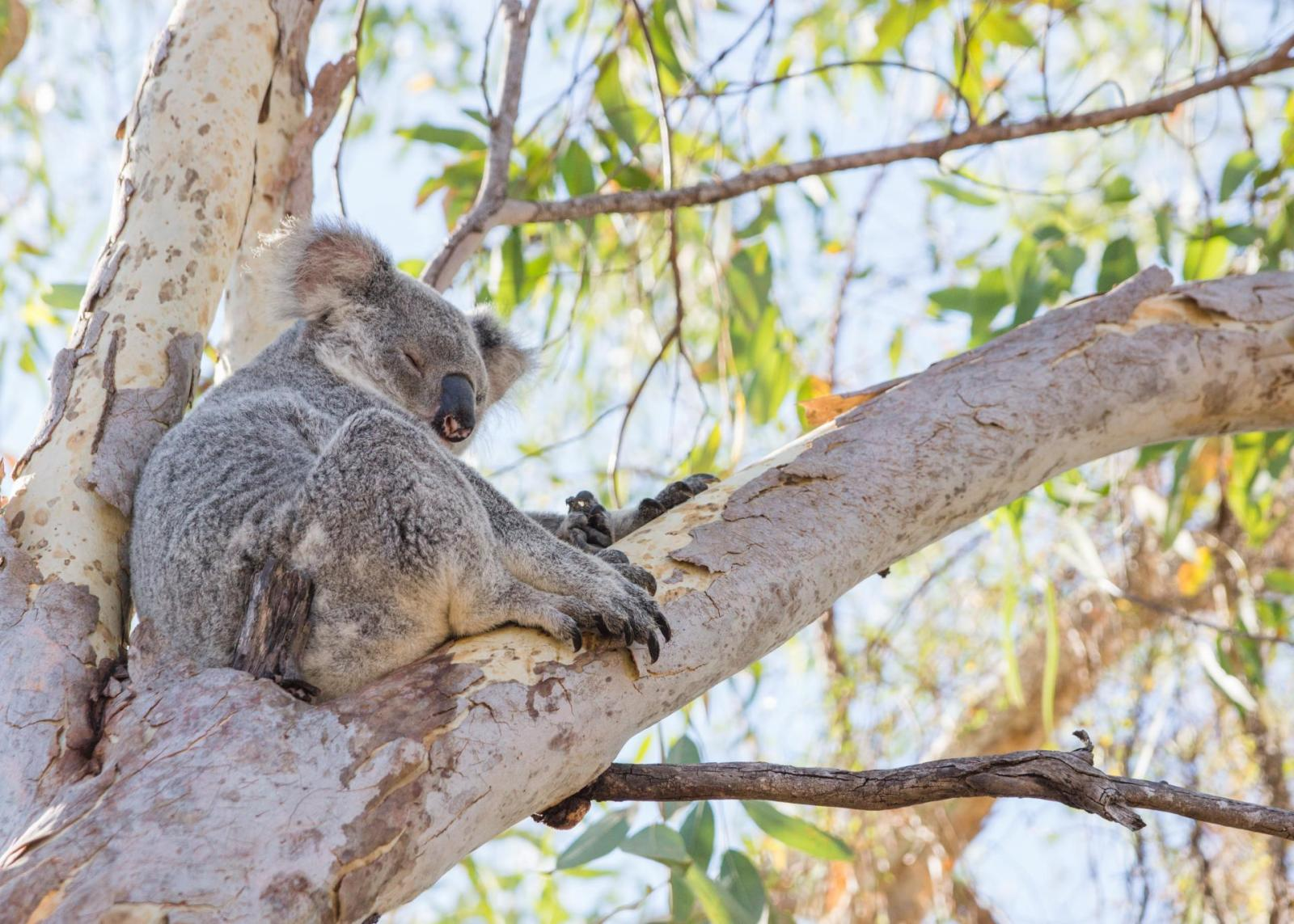 Must See Great Barrier Reef Magnetic Island Koala