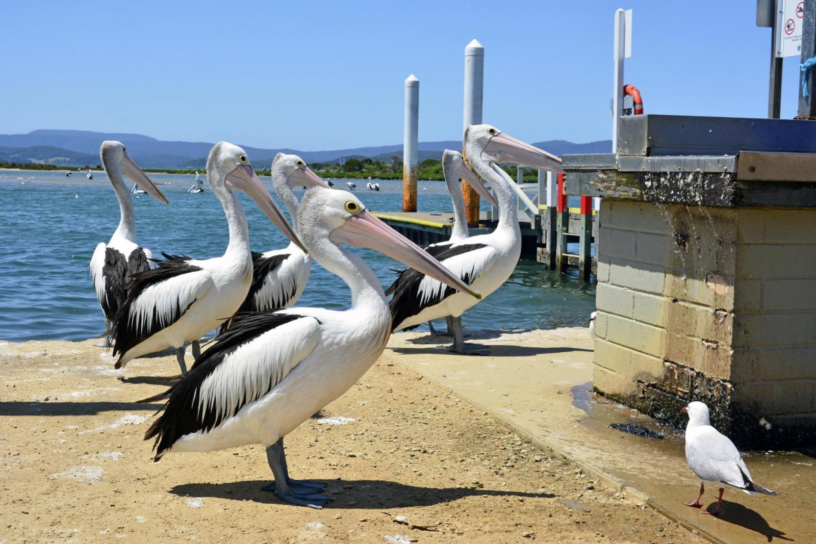 Reiseroute Sydney Melbourne: Pelikane in Mallacoota