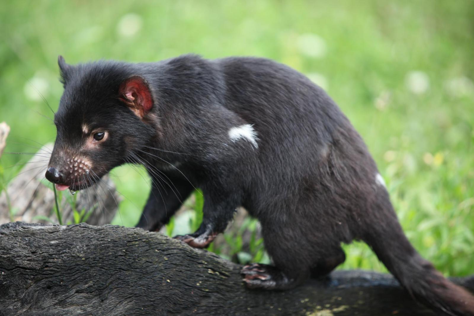 Tasmanischer Teufel Tasmanien Australien