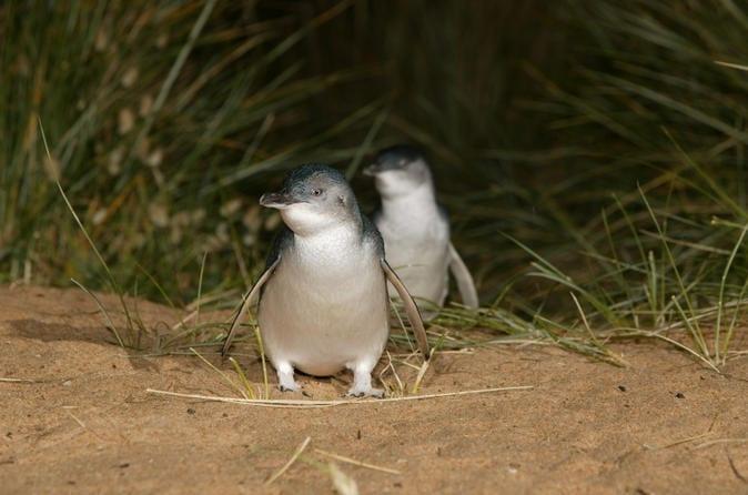 phillip-island-kleingruppen-ko-tour-mit-pinguin-beobachtung-ab-in-melbourne-117324_Viator